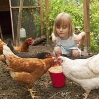 Alimentation des poules
